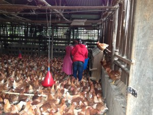 Daniel and workers at Hill Top Poultry Farm picking eggs