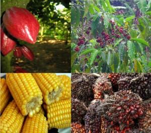 Le cacao, le café, l'huile de palme brute ou encore le maïs qui seront cotés à la Cameroon Commodity Exchange